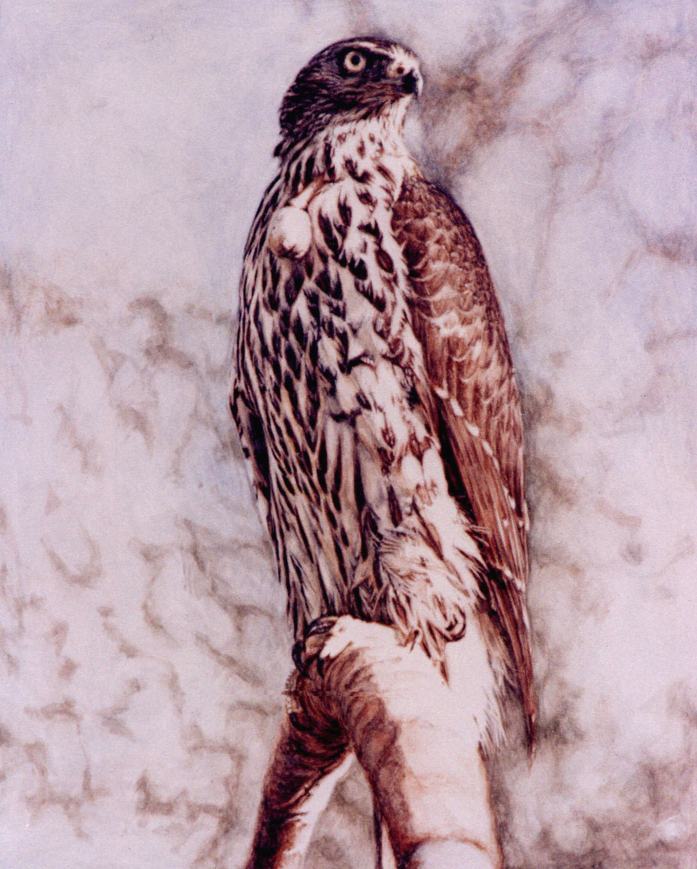 Enlarge: Goshawk - photorealism bird painting